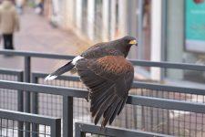 Des buses pour lutter contre la surpopulation de pigeons