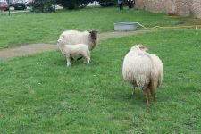 Des moutons au lycée La plaine de Neauphle