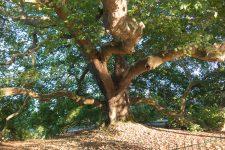 Le platane du parc de Diane labellisé arbre remarquable franciliens