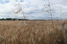 Un labyrinthe pour se perdre dans un champ de maïs